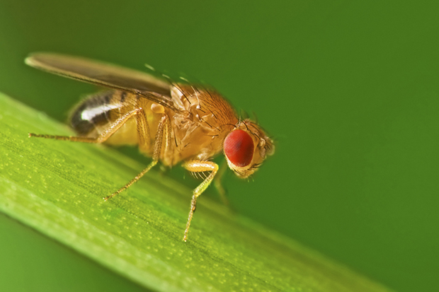 A microscopic view of a fruit fly